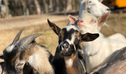 Tired of urban life and looking to raise goats or vegetables? 4 best micro-farms for sale right now
