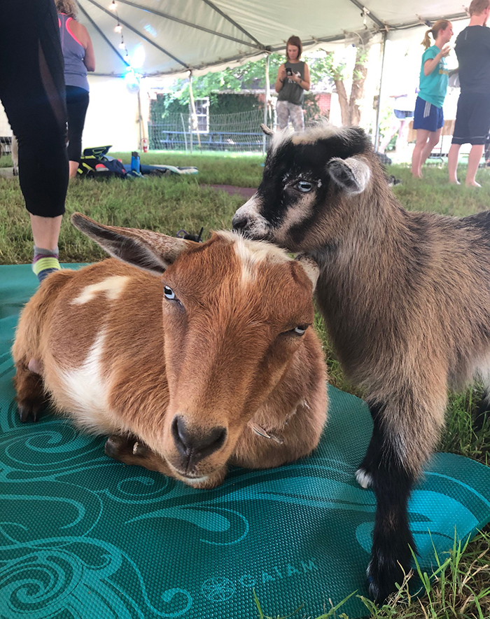 goats at goat yoga in charlotte nc