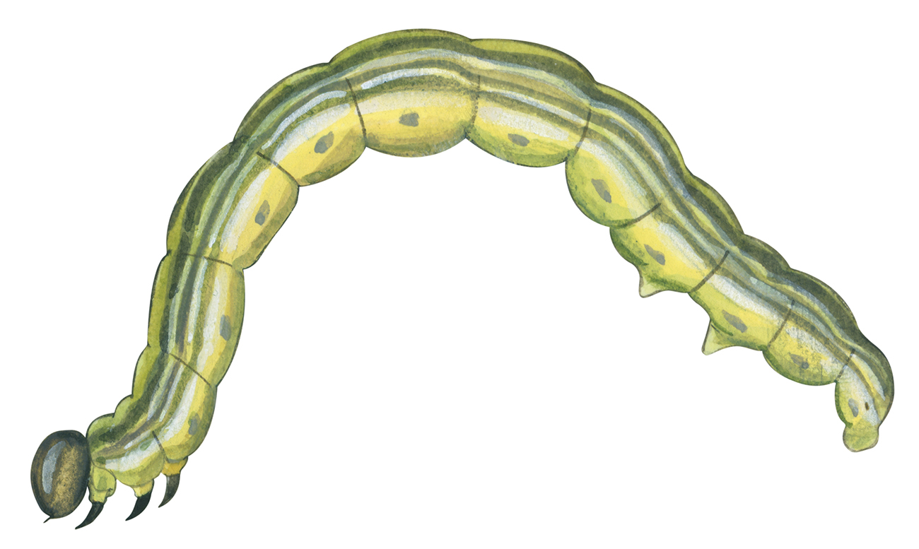 Remembering the cankerworm