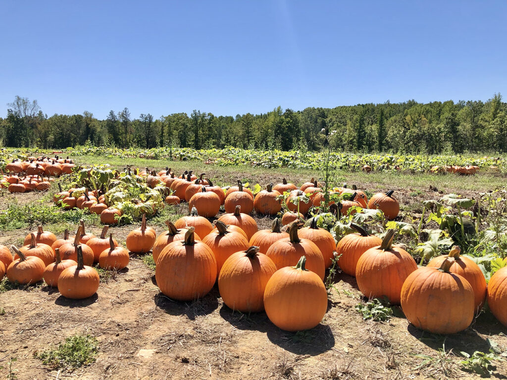 Quick guide to 10 must-visit pumpkin patches near Charlotte